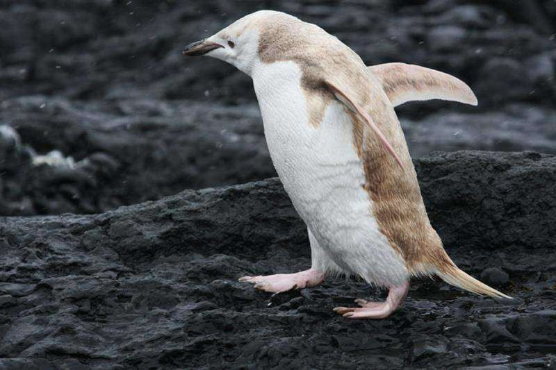 Редкий пингвин-блондин