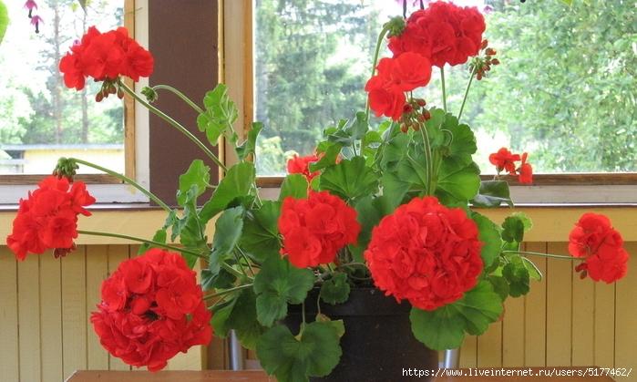 САД, ЦВЕТНИК И ОГОРОД. Подкормка комнатных цветов без химии