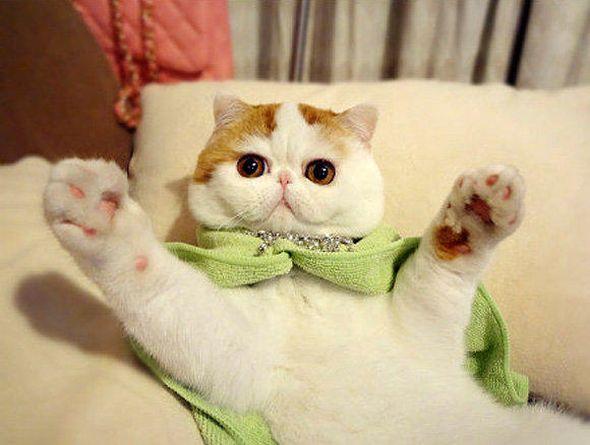 Экзотические и персидские котята в городе иркутск, фото 4, стоимость: 10 000 руб