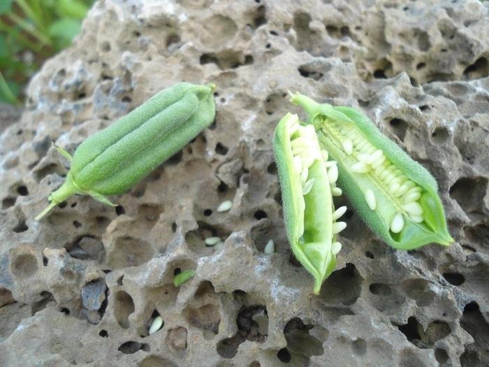 Многолетнее растение, в стручках которого созревают кунжутные семена.