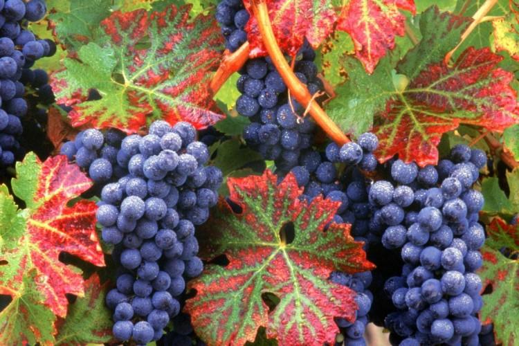 Лечение болезней виноградной лозой