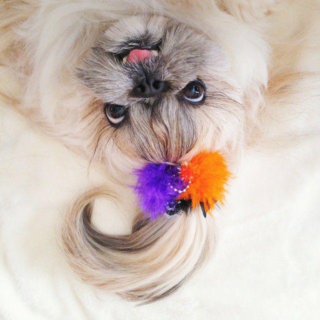 Шевелюра этой собаки настолько прекрасна, что она сделала её звездой Instagram