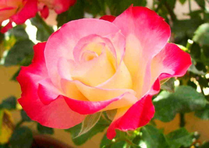 Чайно-гибридные розы посадка и уход, посадка розы выращивание