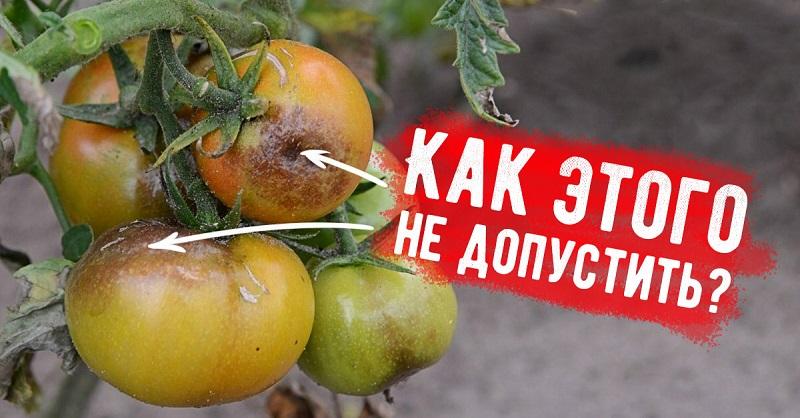 Вот почему помидоры иногда чернеют
