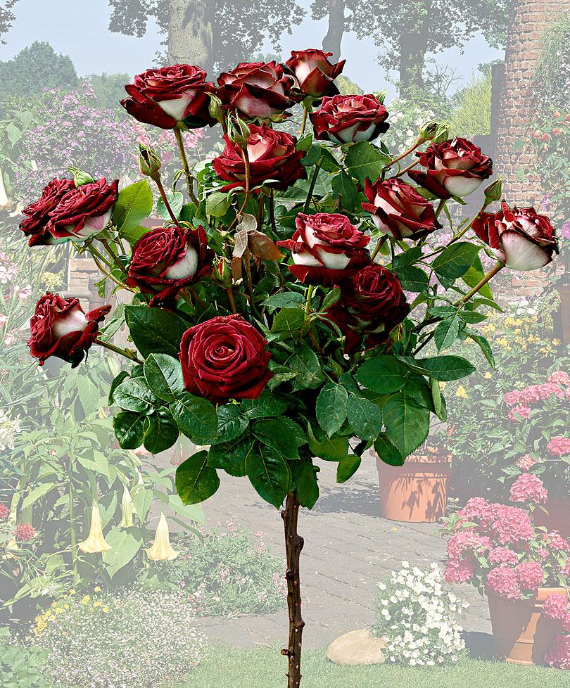 miscelanious02 Роза сорта Osiria
