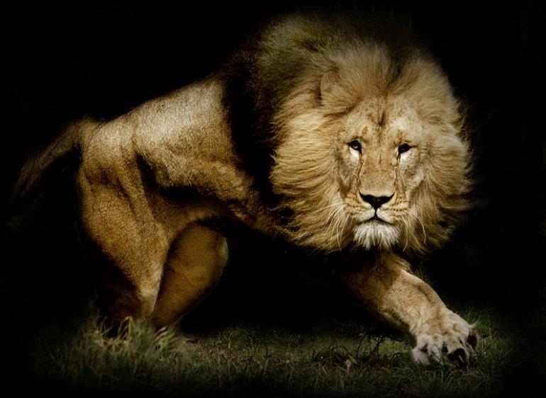 И все-таки львы - действительно цари всех зверей! Посмотрите эту подборку фотографий!