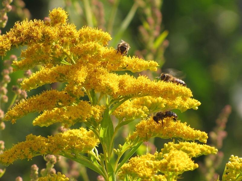 Солнечный пушистый золотарник - Сообщество, форум дачников и садоводов ХМАО