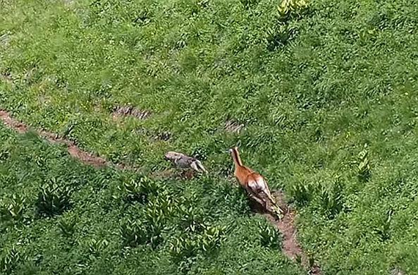Охота наоборот: олень погнался за волком