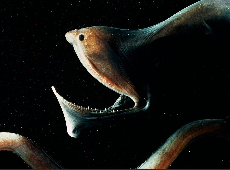 1. Мешкорот. глубоководные рыбы, монстры, рыбы