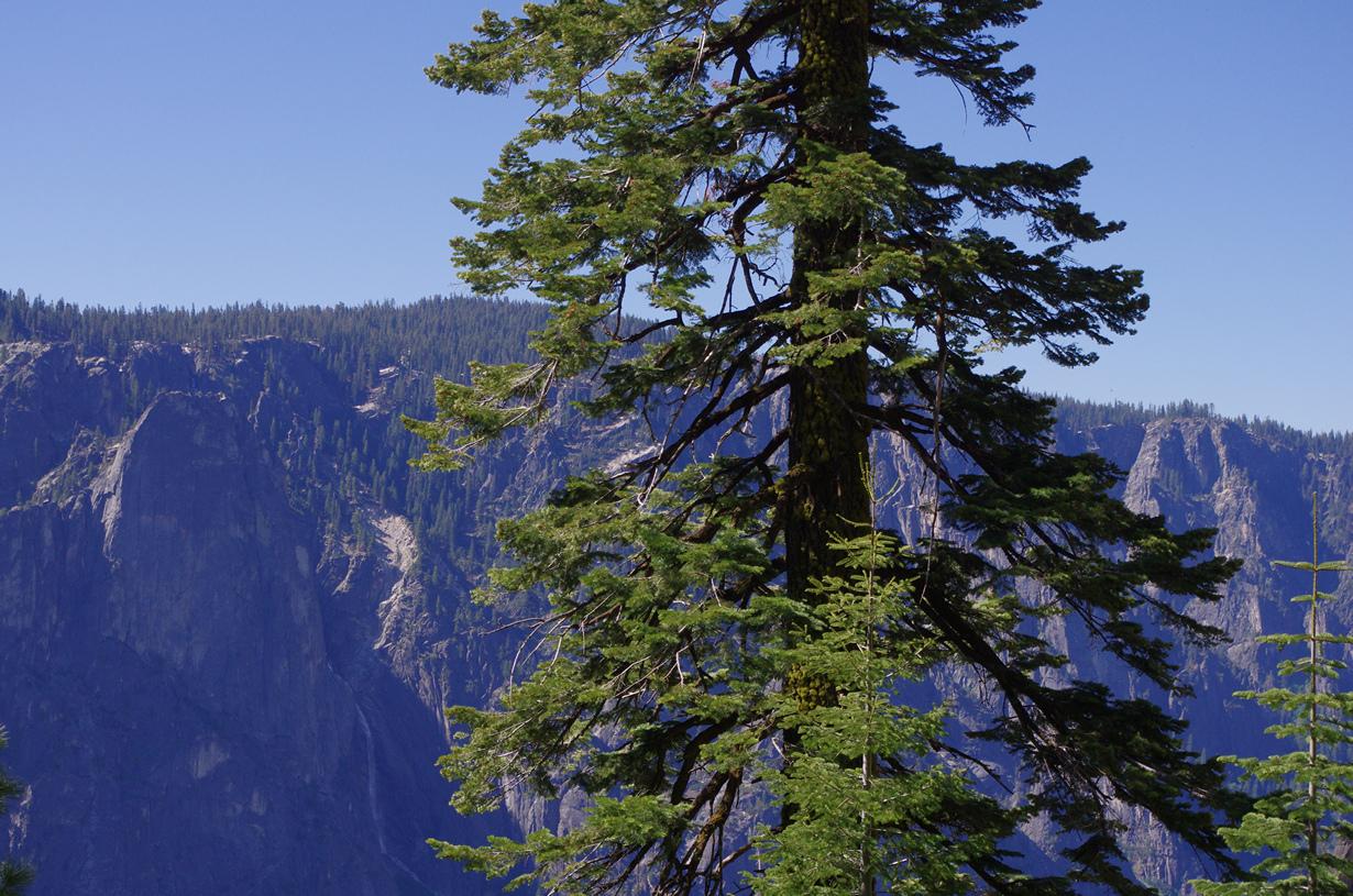 3 место. Псевдотсуга Мензиса. Семейство: Сосновые. Высота: до 100 м. (David Prasad)