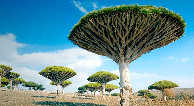 Удивительные деревья нашей планеты