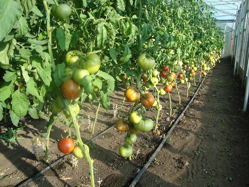 Выращивание помидоров под пленкой 66