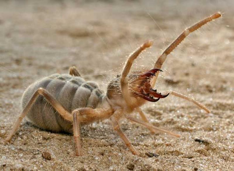 8. Фаланги (Camel spider) животные, факты