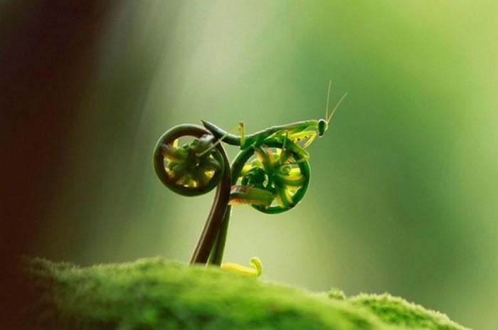 Крупное хищное насекомое с приспособленными для хватания пищи передними конечностями.