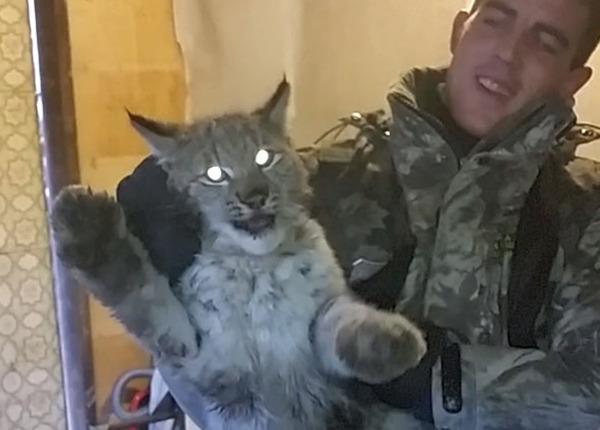 В Челябинской области поймали дикую рысь