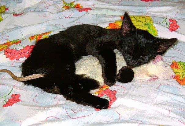 кошка и крыса