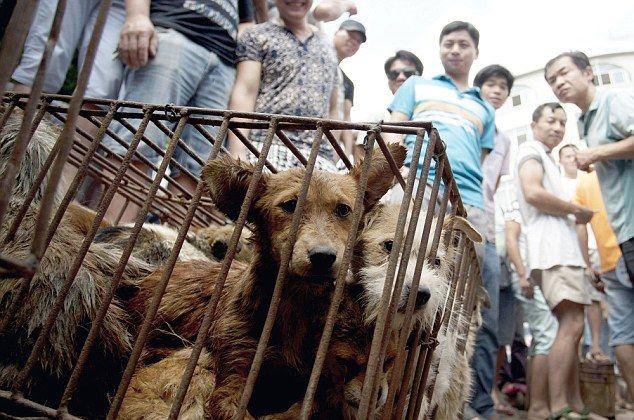 Несмотря на возмущения защитников животных, на китайском фестивале мяса по-прежнему едят кошек и собак