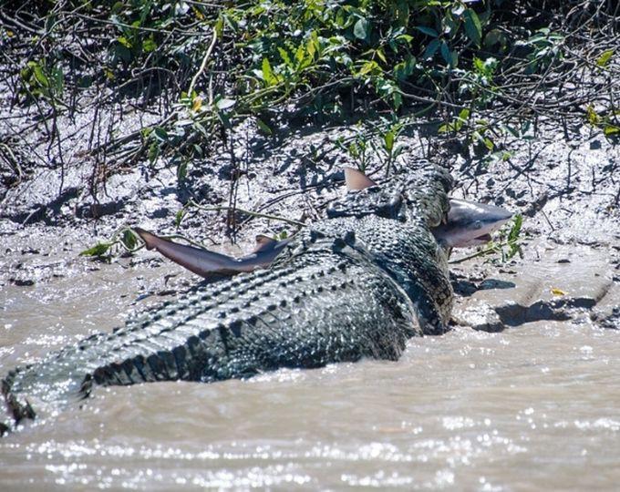 2. Этот крокодил решил закусить акулой. животные, природа
