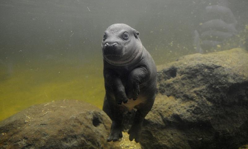 Этот маленький бегемотик — само обаяние. Как же он мило учится плавать!