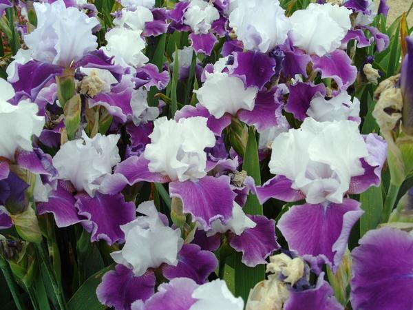 Цветет ирис сорт Gay Parasol