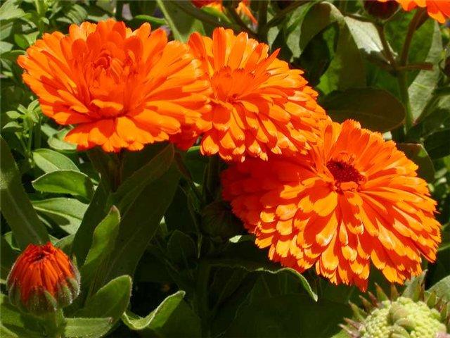 Календула - выращивание и уход