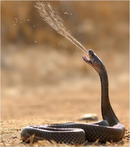 Так змея плюется ядом