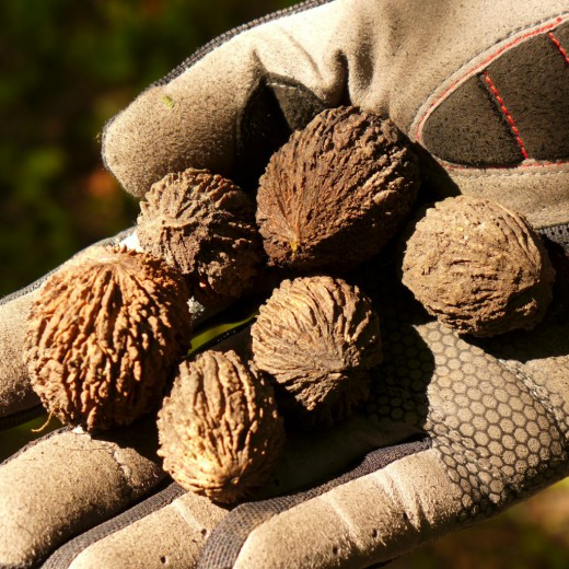 Грибок ногтя лечение маньчжурский орех