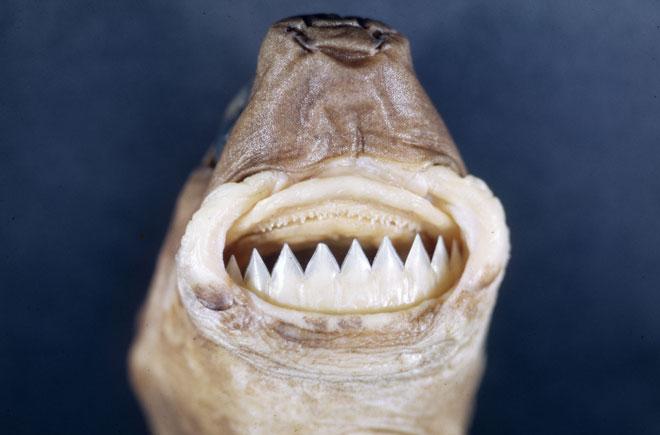 Бразильская светящаяся акула
