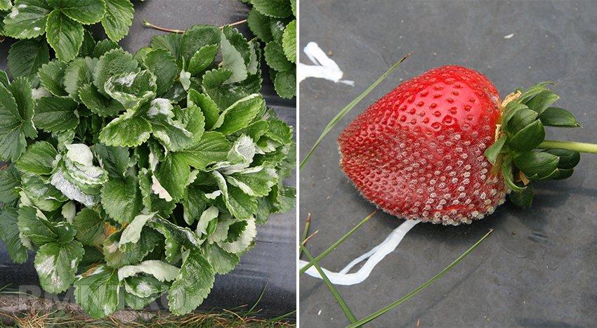 Скрученные листья на смородине могут быть признаком поражения тлей, листоверткой или вирусной инфекцией