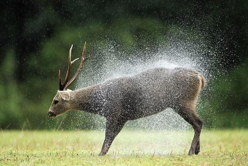 hog deer1 Тайский заповедник дикой природы Phu Khieo