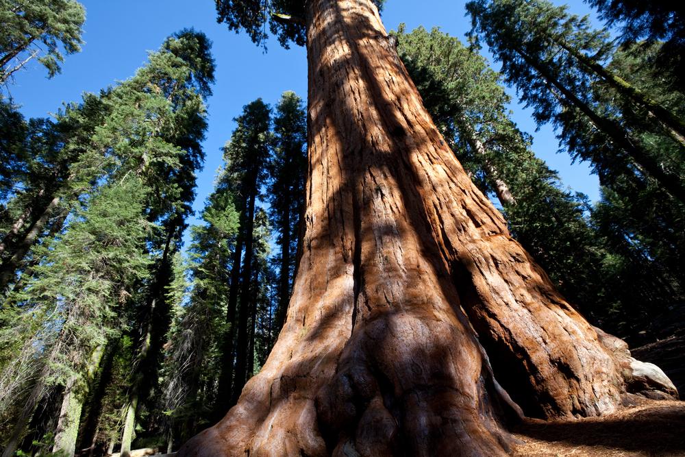 Калифорнийские леса на грани…