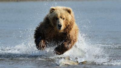 Под Петербургом нашли тело мужчины, растерзанное медведем
