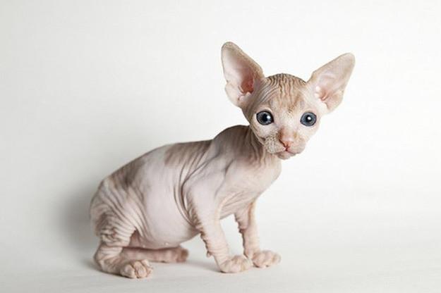 9. Сфинкс животные, коты