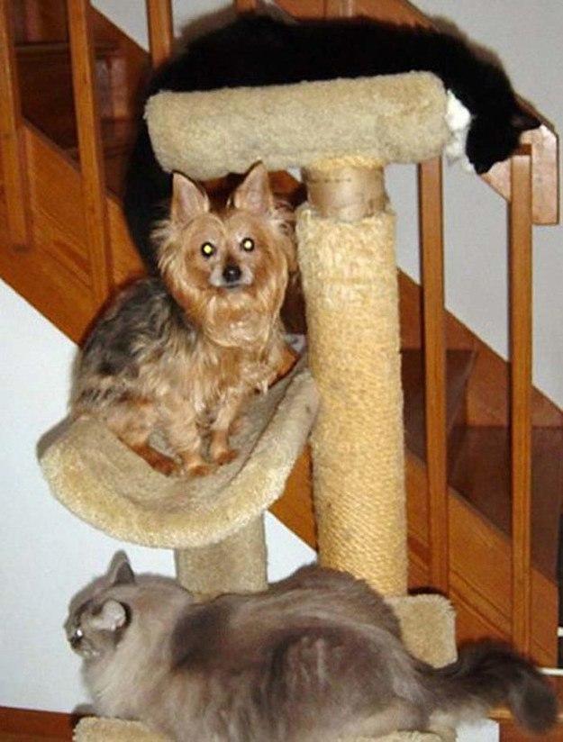 собаки, считающие себя кошками
