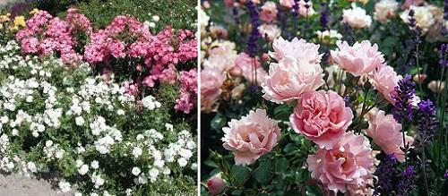 почвопокровная роза Sommerwind