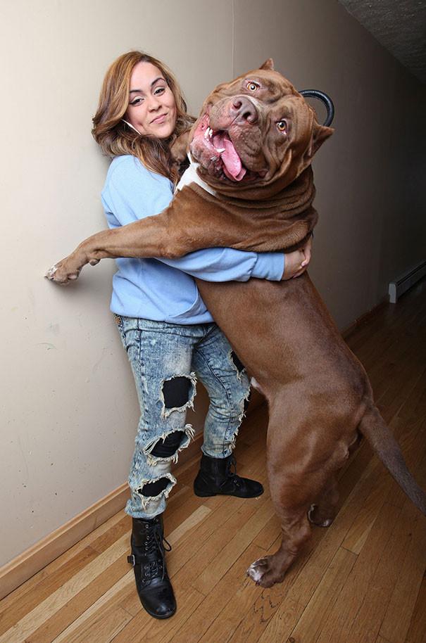 8. Знакомьтесь, это Халк. Вероятно, самый большой питбуль в мире размер, собака