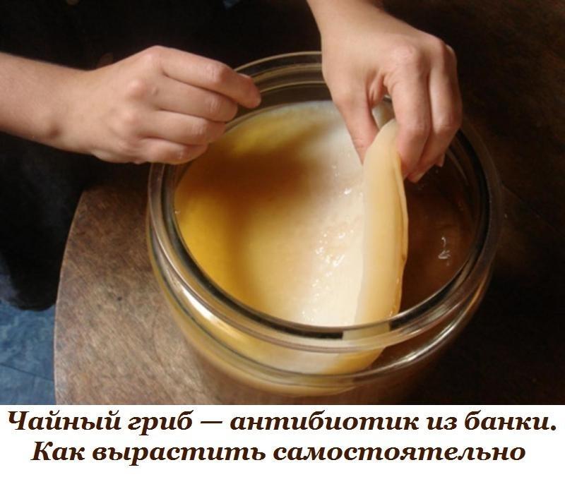 Чайный гриб — антибиотик из банки. Как вырастить самостоятельно.