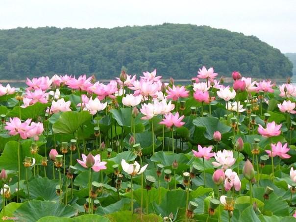 1)Астраханская область лотос, природа, путешествия, растения, цветы
