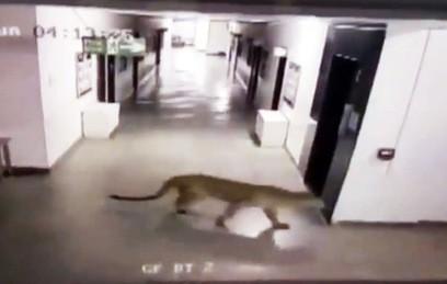Дикий леопард покусал шесть человек в индийской школе