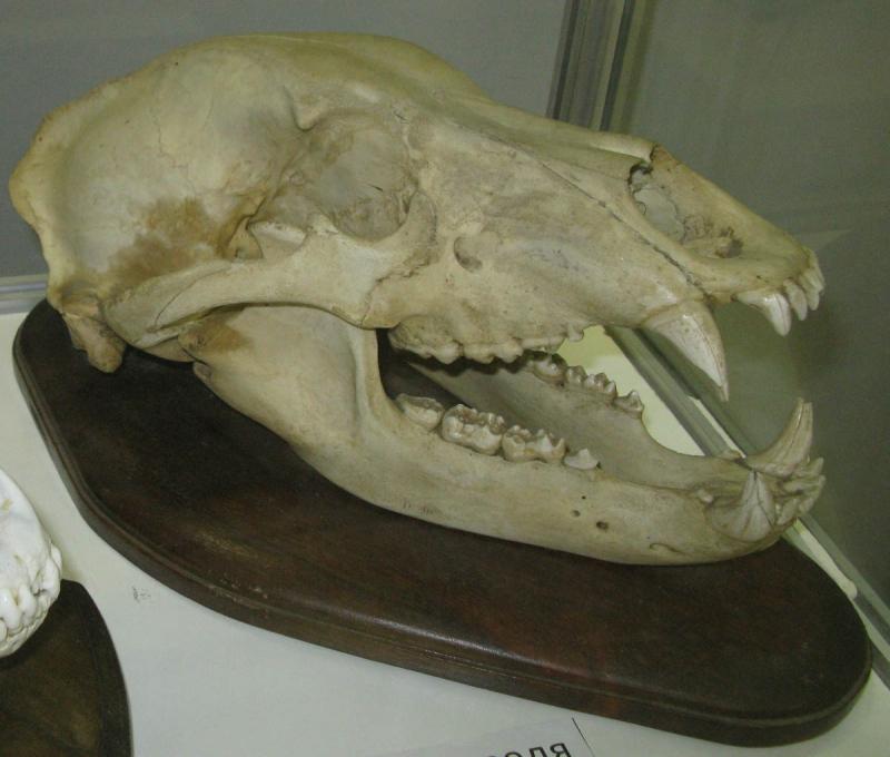 Черепа братьев наших меньших животные, череп