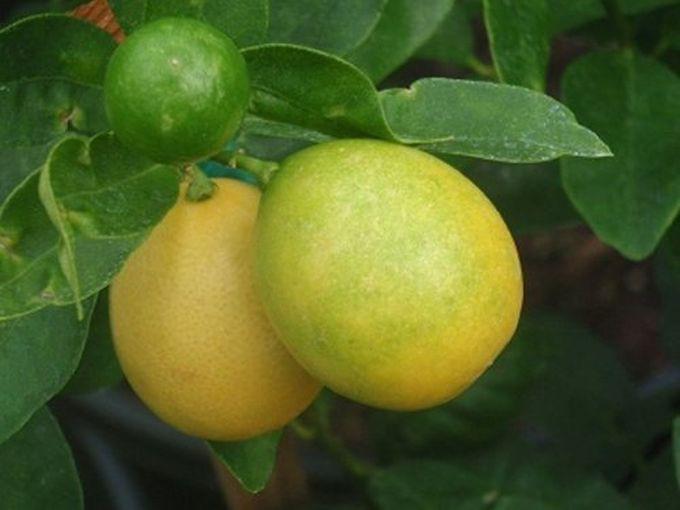 14. Лаймкват гибрид, еда, фрукты
