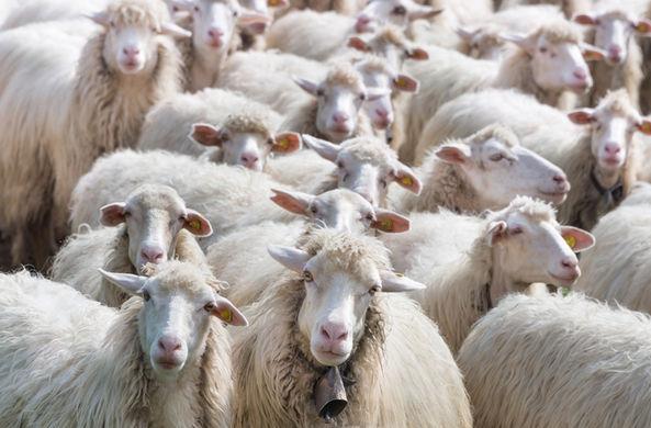 Создана химера человека и овцы