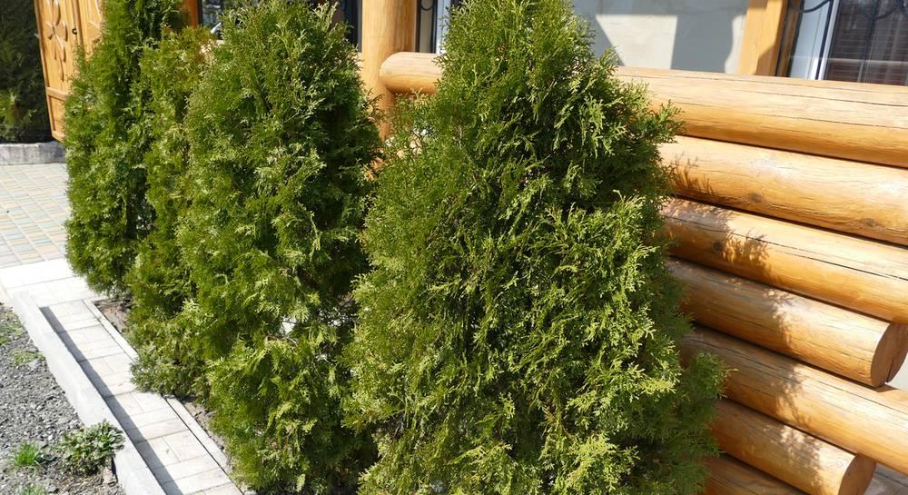 Растения, которые помогут скрыть ваш некрасивый забор