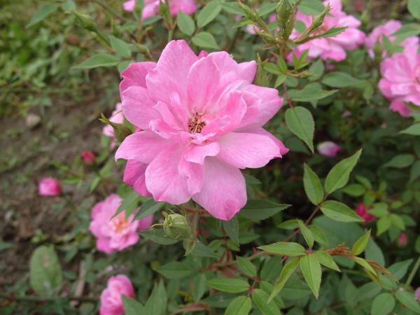 Миниатюрная роза сорт Rouletii