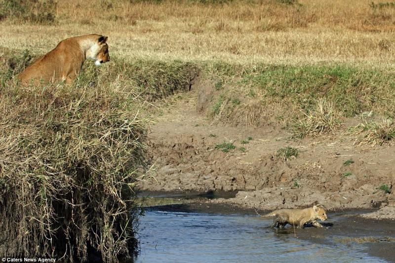 Львица помогла львенку перебраться через реку львица, помощь, река