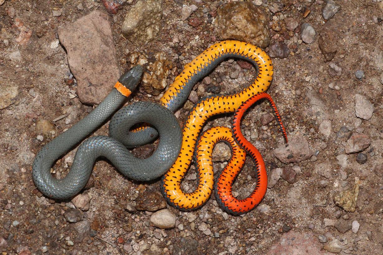 2. Точечная ошейниковая змея в мире, змея, красота