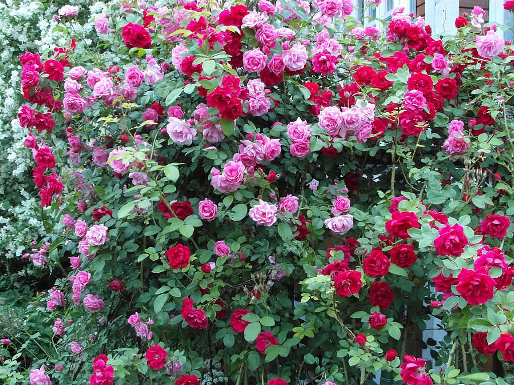 Как совместить розы и другие растения ...: samozvetik.ru/blog/43328087932/Kak-sovmestit-rozyi-i-drugie...