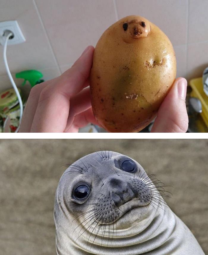 4. Картофель и морской котик вещи, люди, похожие лица, схожесть
