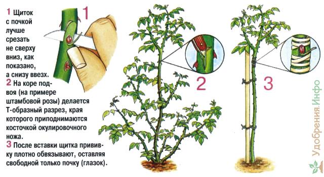 Как привить розы из букета в домашних  289