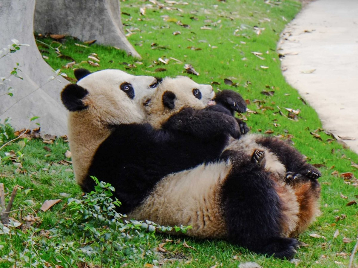 cuddle-up-with-a-panda-in-chongqing